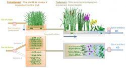 Système d'assainissement des eaux usées par les plantes