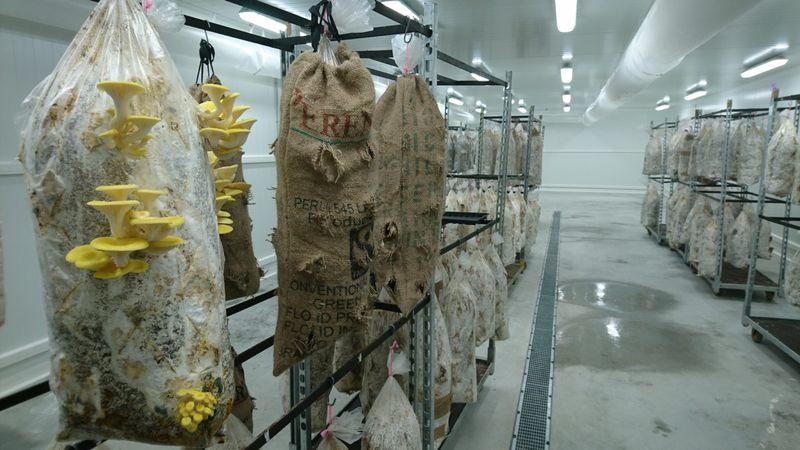 Excroissance des pleurotes dans des sacs (melande de mac de café, paille et poudre a champignons)