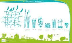 Les types de plantes pour la phyto-epuration