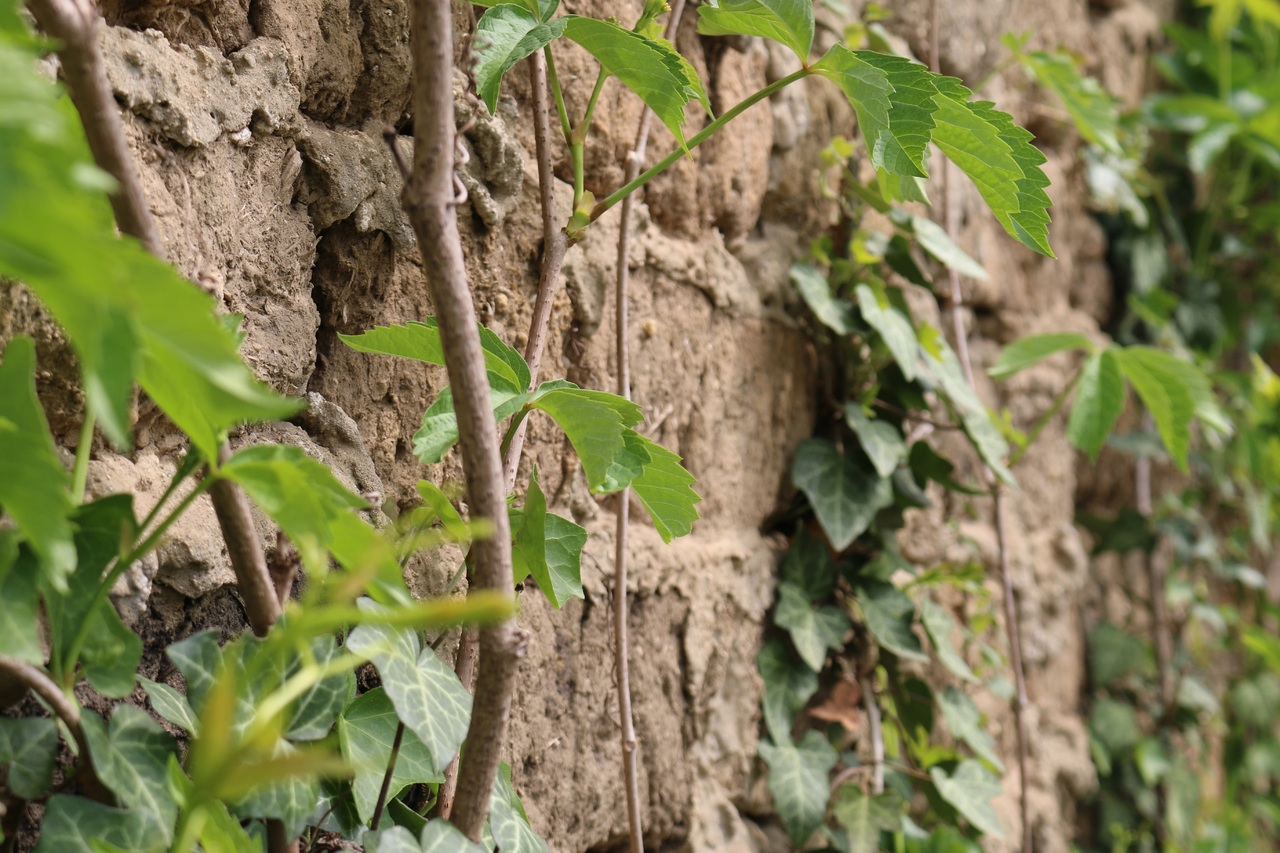 plantes-s'inscrustant dans les fissures des murs en terre