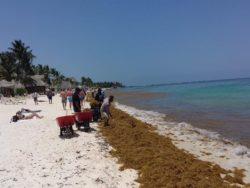 Algues marine côte - House-Seaweed par Vazquez Sanchez - Puerto Morelos, Mexique © Pilar Rodriguez Rascon