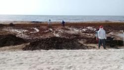 Plage envahie d'algues - House-Seaweed par Vazquez Sanchez - Puerto Morelos, Mexique © Pilar Rodriguez Rascon