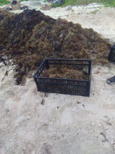 utilisation algues marines - House-Seaweed par Vazquez Sanchez - Puerto Morelos, Mexique © Pilar Rodriguez Rascon